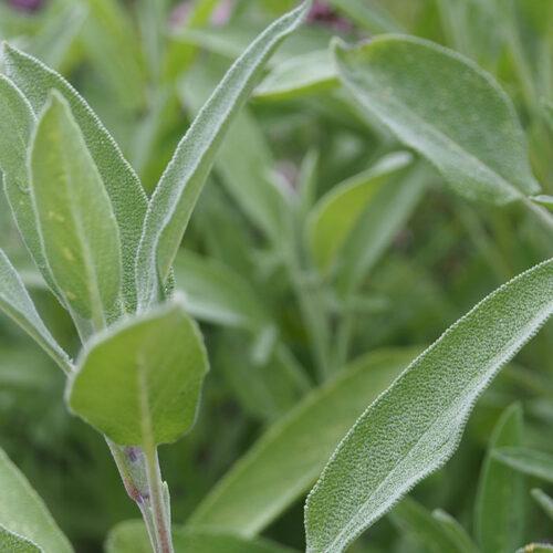 sauge feuilles biologique