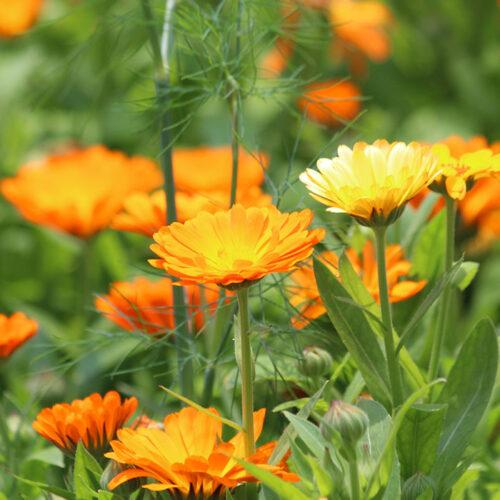 calendule souci fleurs biologique